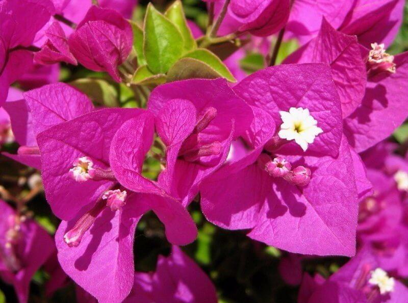 8 jenis bunga Bougenville